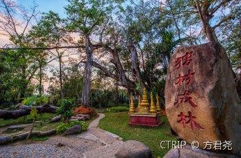 中国榕树王(独树成林) 景点图片