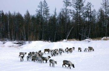 敖鲁古雅驯鹿之乡 景点详情