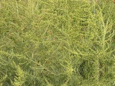 狼尾巴蒿 - 第1张  | 中草药图片大全-中药的功效与作用