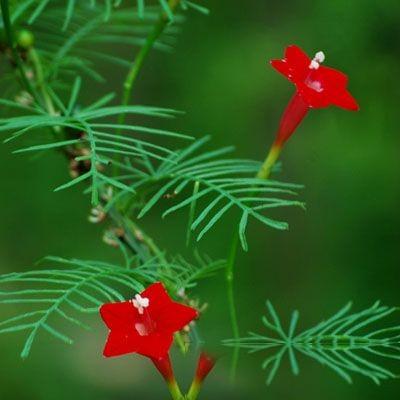 彩斑桑勒草